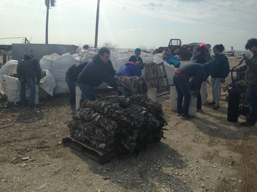Alternative+Spring+Break+volunteers+collected+recycled+oyster+shells+to+help+create+a+reef.