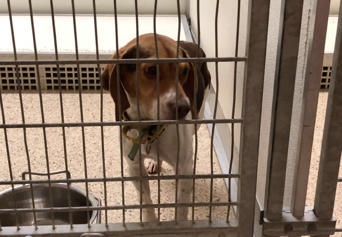 This is Dez, a 1-year-old brown and white beagle at the Summit County Animal Control Facility, who is available to be adopted.