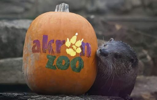 A North American River Otter poses with a pumpkin in celebration of Boo at the Zoo. (Photo courtesy of Akron Zoo)
